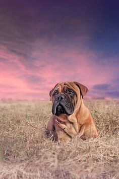 """The breed is commonly referred to as the """"Mastiff"""". Also known as the English Mastiff this giant dog breed gets known for its splendid, good nature. Bull Mastiff Dogs, Mastiff Breeds, Mastiff Puppies, Dogs And Puppies, Doggies, British Mastiff, English Mastiff, Giant Dog Breeds, Giant Dogs"""