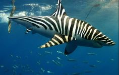 Zebra-shark - OK, yea, this has been photoshopped, but wouldn't it be cool if there were such a thing? The real zebra shark looks a bit different. Underwater Creatures, Underwater Life, Ocean Creatures, Orcas, Animals Beautiful, Beautiful Creatures, Zebra Shark, Foto Fun, Life Under The Sea