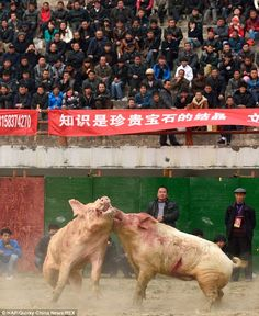 Thousands watch two PIGS fight to the death in brutal Chinese sport Pig fighting is a popular sport in Leishan county, Guizhou province, China It involves two large male pigs being pitted against each other until one is killed Water buffalo and stallions are also made to fight to the death --Posted to DESERT HEARTS Animal Compassion - Phoenix, Arizona --1/10/2014 https://www.facebook.com/desertheartsphoenix