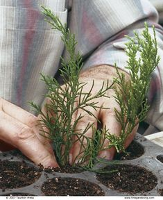Grow Your Own Conifers from Hardwood Cuttings - FineGardening