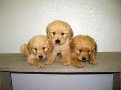 Golden Retriever Puppies Training Tips