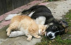 Dog and a cat cuddling together.
