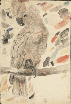 Edward Lear Sketches of Parrots Relating to 'Illustrations of the Family of Psittacidae, or Parrots' (1832), ca. 1830 (MS Typ 55.9). Houghton Library, Harvard University.  Salmon-crested cockatoo : graphite and watercolour drawing. 54.7 x 36.6 cm.    Drawing for plate 2 in 'Illustrations of the Family of Psittacidae, or Parrots' , 1832.