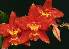 Odontioda Guinea Gold 'Rincon Red'