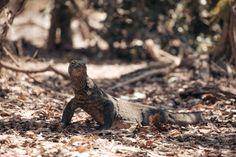 Complete travel guide to the two Komodo Dragon Islands in Indonesia - Rinca and Komodo Islands. How to get here and where to see Komodo Dragons. Hiking Guide, Travel Guide, Komodo National Park, National Parks, Komodo Dragons, Komodo Island, Labuan, Epic Photos, Pink Beach