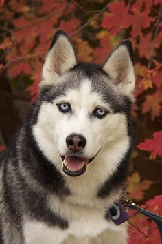 Gorgeous autumn Siberian Husky photo.  This photo was uploaded by wolfQU2.
