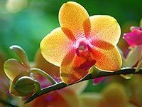 Orchideje jsou nejskvostnější pokojové květiny. Odolné druhy a kříženci nepotřebují skleník ani složitou péči. Jsou k dostání i v běžných zahradnických obchodech. Různé druhy ale vyžadují různé podmínky – jak si vybrat?