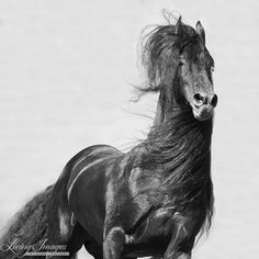 The Black Stallion Runs  Fine Art Horse by Carol Walker www.LivingImagesCJW.com