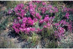 Ground Plum (Astragalus crassicarpus)!