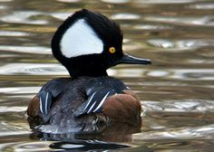 Hooded Merganser, saw them for the first time today Duck Mount, Ducky Duck, Protected Species, Salmon Flies, Shorebirds, Colorful Birds, Colorful Drawings, Wild Birds, Bird Watching
