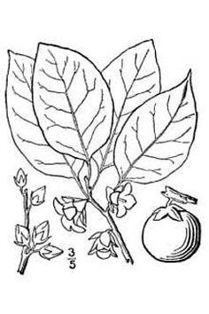 61 best trees images plants hardwood hardwood floor Shed Vegetable Garden diospyros virginiana american persimmon mon persimmon persimmon pfaf plant database