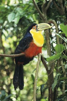 A toucan's tongue is very long (6 inches) and looks like a feather.