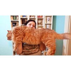でかすぎる!大型のイエネコ長毛種メインクーン画像【猫】 (50)