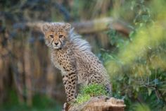 Young Cheetah by Roman Inauen - Pixdaus