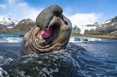 A male southern elephant seal rolls in the waves at Gold Harbour, South Georgia