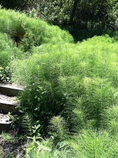 Horsetails - Equisetum arvense.  So beautiful landscape