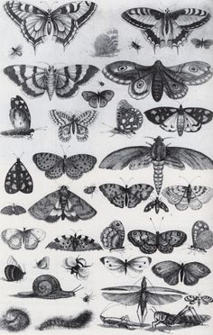 Wenceslaus Hollar, Forty-One Insects, Moths and Butterflies, 1646 Etching from…