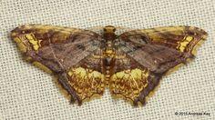 Geometer Moth from Ecuador: www.flickr.com/andreaskay/albums