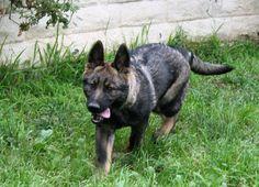Black Sable German Shepherd | German Shepherd Male Black Sable : Female German Shepherd For Sale ...