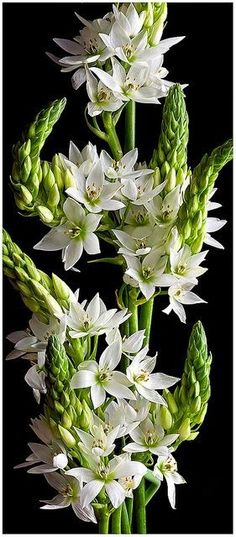 White Star of Bethlehem Flowers