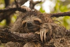 The pygmy three-toed sloth (Bradypus pygmaeus) is one of the world's most endangered mammals, according to the first ever formal survey of the population, which found less than 100 sloths hanging on in their island home. Only described by researchers in 2001, the pygmy sloth lives on a single uninhabited island off the coast of Panama. But human impacts, such as deforestation of the island's mangroves, may be pushing the species to extinction.