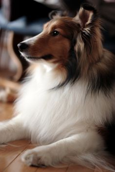 sheltie - that face when they are hanging on EVERY word you are saying. even though they may not understand it all!!