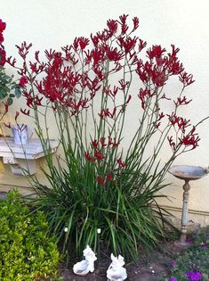 Kangaroo paws come in a rainbow of colors and in full and dwarf varieties. The yellow Kangaroo paw plants provide an airy and translucent hedge that separates my private master be...