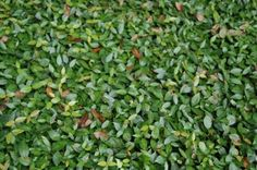 Asiatic jasmine is a great alternative to turf grasses as a ground cover, as it is much more tolerant to drought and shade. It even remains green after hard freezes that normally kill or discolor turf grass.