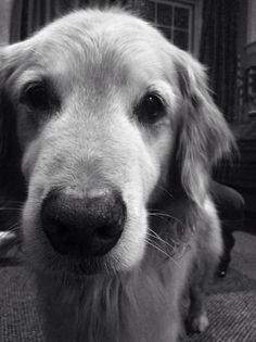 Golden Retriever. I want 5 different kinds of dogs no joke