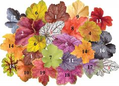 "Heuchera (Heuchera) 1 - H. ""Georgia Peach""  2 - Heuchera ""Miracle""  3 - H. ""Venus""  4 - H. ""Tiramisu""  5 - H. ""berry Smothie""  6. H. ""Electra""  7 - H. ""Citronelle""  8 - H.""Peach Flambe""  9 - H. ""Caramel""  10 - H. ""Amber Waves11 - H.""Frosted Violet"" 12 - H. ""Obsidian""  13 - Heucherella ""Sweet Tea""  14 - H. ""Marmalade"" 15 - Heucherella ""Alabama Sunrise""  16 - H. ""Purple Palace"" 17 - H. ""Tiramisu"" - novinka 18 - H. ""Tiramisu"" - novinka 19 - H. ""Southem Comfort"""