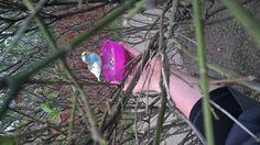 SIGHTING BUDGERIGAR: 04/19/2016 - Blue Island, Illinois, IL, United States. Ref#: V24057 - #ParrotAlert #ParrotSighting #BirdSighting #BudgerigarSighting