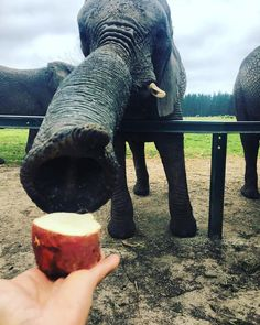 It's all about perspective 😎. The trunk of an elephant can really look weird, when he wants to grab offered food. But I can tell, those elephants in the sanctuary are super careful when taking the bits. The food basket contains 🍎 🍐 🥕 🍠 . World Of Wanderlust, Elephant Sanctuary, I Can Tell, He Wants, Elephants, South Africa, Perspective, Trunks