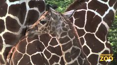 Giraffe Calf Being Born at Brookfield Zoo Cool video... That's a big drop!