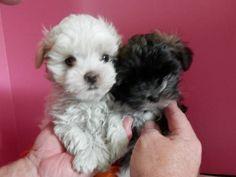 CKC Shih Tzu/ Maltese designer  puppies in East Tennessee!