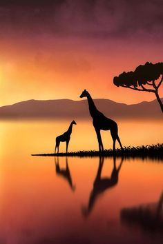 Silhouette of a person, object or scene is an image in which the object appears dark because of backlight.Here are 30 Impressive Silhouette Photography examples Giraffe Painting, Giraffe Art, Giraffe Pictures, Animal Pictures, Pictures To Paint, Cool Pictures, Silhouette Fotografie, Animals Beautiful, Cute Animals