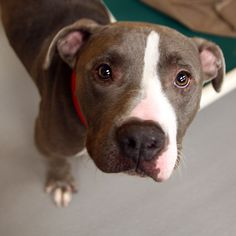 Arcanis - SPCA of Texas Name: Arcanis ID: 149974 Breed: Terrier, American Pit Bull / Mix Gender: Male Age: 1 year 7 months Size: Medium Location: Jan Rees-Jones Animal Care Center, Dallas