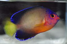 Centropyge bispinosa multicolor coral beauty hybrid angelfish