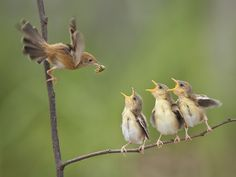 """Lunch Time! """"Me first! Not him me! not them me! (Dang it! I should't have had triplets, and where in heavens is your father when you need him? Plucking feathers somewhere else of course!)"""