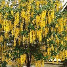 golden-chain tree | Golden chain tree