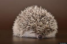 Cynical hedgehog.