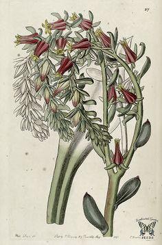 Echeveria scheerii. Edwards's Botanical Register, vol.31 (1845) [Sarah Ann Drake] |