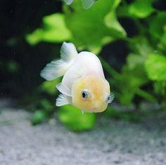Casper the friendly goldfish