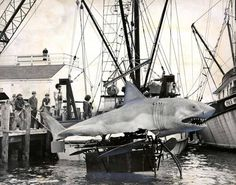 """June 2, 1977: The shark for the movie """"Jaws II"""" arrived on Martha's Vineyard for its role in the sequel. Its swimming mechanism can be seen underneath as it entered the water for the first time."""