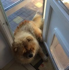 14 Cheerful Chow Chow Pictures Proving That Coronavirus Quarantine Can Be Spent With Positive | PetPress Chow Chow Dogs, Good Movies, Cheer, Corgi, Cute Animals, Positivity, Canning, Pets, Doggies