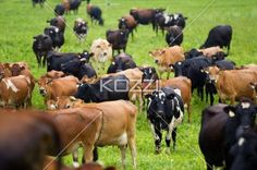 domestic cattle at field. - Domestic cattle at dairy farm.