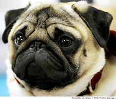 Look at this face! #pugs