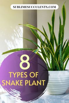 Whether you already have Snake Plants in your collection, or are considering your options, you have plenty of plants to choose from. Here are Sansevieria types that every Snake Plant lover should consider. #snakeplant #indoorgardening #outdoorgardening #gardeningtips #sansevieria Container Plants, Container Gardening, Gardening Tips, Cacti And Succulents, Cactus Plants, Outdoor Landscaping, Outdoor Gardens, Succulent Species, Types Of Snake