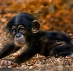 Baby Chimps Might be the Cutest Thing Ever #babyanimalphotos