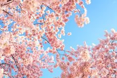 Light and Airy - Cherry Blossoms in full bloom from Spring 2013 in Washington, DC. Looking forward to another session with them in a few weeks. Pretty In Pink, Beautiful Flowers, Nature, Bloom, Exterior, Colours, World, Spring, Cherry Blossoms