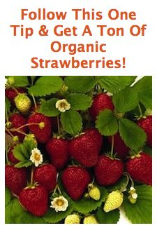 If you want to have a ton of strawberries, You must remove the runners! The runners steal all the nutrition from the main strawberry plant. So once the runner plant takes root snip its connection with the main plant. Fruit Garden, Edible Garden, Vegetable Garden, Strawberry Garden, Strawberry Plants, Strawberry Fertilizer, Strawberry Varieties, Growing Vegetables, Vegetable Gardening